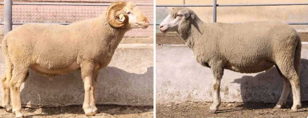 Merinos koyun Irkı